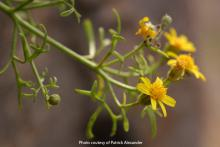 Photo of New Mexico Rock Daisy, Perityle staurophylla var. staurophylla